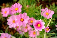 Close up of pink cosmos flowers