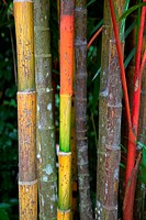 Bamboo stems growing in the Singapore Botanic Gardens.