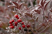Winter Frost on Red Berry Plant