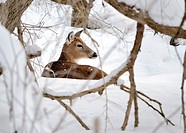 Whitetail deer doe bedded in the woods in winter snow.