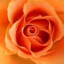 zarte Rose orange