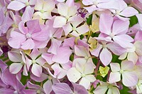 Closeup of pink flowers of hydrangea, Hortensia