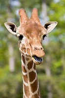 Giraffe head shot, Safari Zoo Park, Paris, France