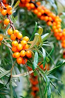 branch of sea buckthorn berries and rain drops
