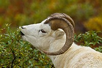 A Dall sheep grazes on bushes.