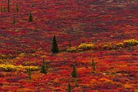 Bright red fall foliage on the Alaskan tundra.