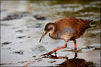 The Virginia Rail. Rallus limicola