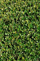 Green Hedge Background