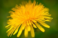 Close Up Macro of Yellow dandelion