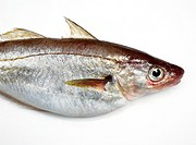 Whiting, merlangius merlangus, Fresh Fish against White Background