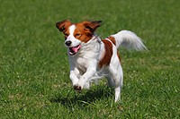 Kooikerhondje / Small Dutch Waterfowl Dog