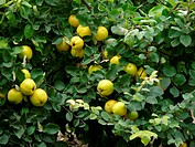 quince tree with ripe qunices