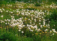 dandelion meadow, blowball meadow