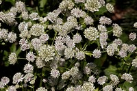 Astrantia major, Great Masterwort