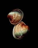Two Clams