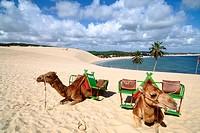Camel rides in Brazil