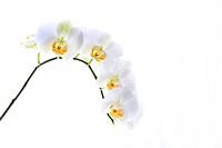 weiße orichidee auf weißem Grund