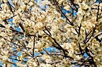 Bluehender Weidenbaum