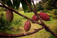 Eine Cacao Plantage in nordosten von Bali auf der Insel Bali, Indonesien.