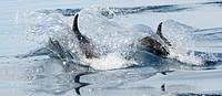 Mexico, Baja California, Bottlenose dolphins Tursiops