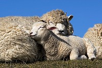 Mother with Lamb, Domestic Sheep, Ovis aries, Schleswig-Holstein, Germany