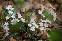 Claytonia virginica blooming in the forest understory.