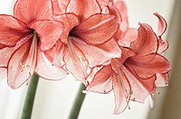 Two blossoming inflorescences on an amaryllis houseplant.