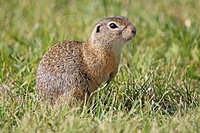 European ground squirrel Spermophilus citellus, Burgenland, Austria, Europe