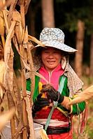 Traditionell gekleidete Frau von einem Stamm der Dara_Ang bei ernten von Maiskolben in einem Maisfeld beim Dof Chiang Dao noerdlich von Chiang Mai im ...