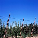 Rows of hops contrast with the blue sky.