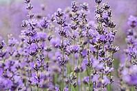 Lavandula augustifolia, Lavender