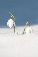 Galanthus nivalis, Snowdrop