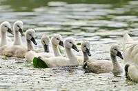 Mute Swan Cygnus olor. Cygnets in a row following their mother