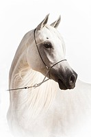 Arabian Horse. Portrait of the gray mare Yosra