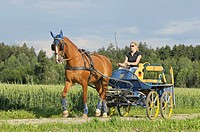 Bavarian Warmblood pulling a marathon carriage