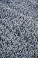 Winter Forest on Mountainside