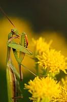 Europäische Gottesanbeterin Mantis religiosa, Elsass, Frankreich / European Mantis or Praying mantis Mantis religiosa, Alsace, France