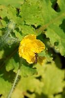 Blüte mit Schwebfliege