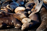 Sea Lions sleeping on dock, Fisherman's Wharf, Pier 39, San Francisco