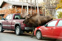 Large bull moose walks along a residential street, Anchorage, Southcentral Alaska, Autumn