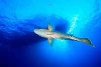 Napoleon Lippfisch, Cheilinus undulatus, Ägypten, Rotes Meer, Humphead Wrasse, Aegypt, Red Sea