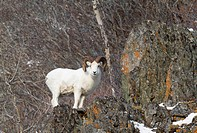 Dall sheep in Chugach Mountains during a snowstorm, Southcentral Alaska, Winter