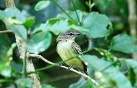 Myiopagis gaimardii, Forest Elaenia, Venezuela