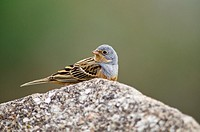 Cretzschmar's Bunting - Emberiza caesia, Lesbos, Greece