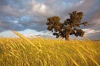 Single cork tree in wheat field  International Douro, Portugal
