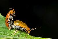 Beetles mating. Image taken at Kampung Skudup, Sarawak, Malaysia.