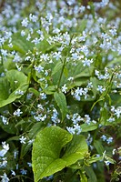 Brunnera sibirica, boraginaceae blooming. Location Oulu Oulu University Botanical Garden Finland Scandinavia Europe.