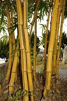 Bamboo Stalks in Taizhong Park