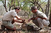 rangers con ghepardo, aciynonyx jubatus, hoedspruit endangered species centre, kapama game reserve, sudafrica