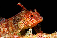 Bravo clinid (Labrisomus dendriticus), Ponta de Sao Vicente, Isabella Island, Albemarle, Galapagos Islands, a UNESCO World Natural Heritage Site, Ecua...